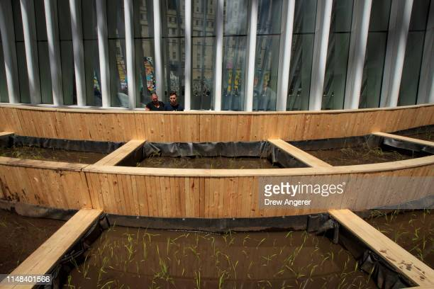 """Living rice paddy"""" art installation stands outside the World Trade Center Oculus, June 6, 2019 in New York City. The installation was installed by..."""