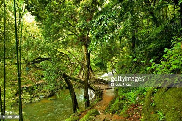 Living Root Bridge, Meghalaya, India, Asia