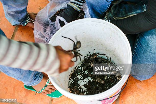Living tarantulas at an exotic food market before they get fried tarantulas insects in Siem Reap on December 20 Cambodia