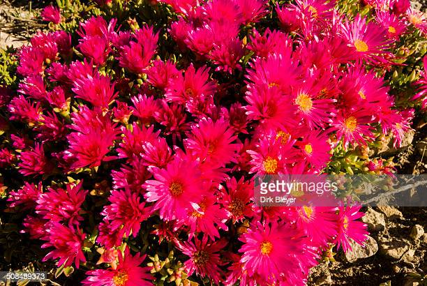 Livingstone Daisy -Dorotheanthus bellidiformis-, West Coast National Park, Western Cape, South Africa
