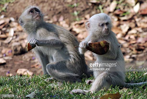 A rare albino Vervet monkey in Livingstone Zambia forages with a normal vervet monkey 26 September 2006 Workers at the lodge say they were surprised...