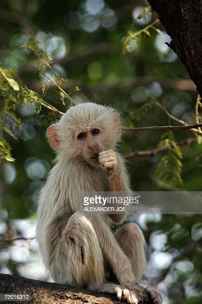 A rare albino Vervet monkey is seen in Livingstone Zambia 26 September 2006 The monkey spends a lot of time alone unlike regular Vervet monkeys...
