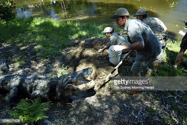 Liz Vella centre crouched collects alligator aggs from a nest while staff from Australia Reptile Park keep an eye on Curtis an old male American...