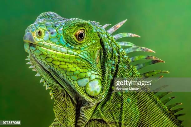 lizard 3 - iguana foto e immagini stock