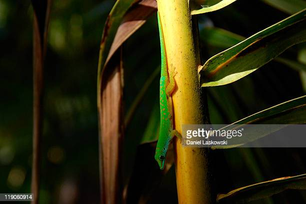 Lizard Anse Lazio