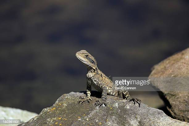 A lizard basking in the hot sun during day three of the 2011 Emirates Australian Open at The Lakes Golf Club on November 12 2011 in Sydney Australia