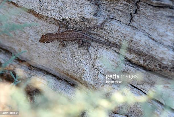 A lizard climbs on a dead tree trunk in the ghost town of St Thomas on August 3 2015 in the Lake Mead National Recreation Area Nevada The town was...
