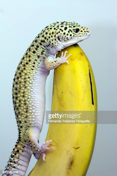 Lizard climbs to a banana
