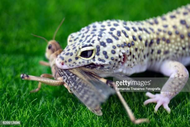 Lizard (leopard gecko) eating an insect
