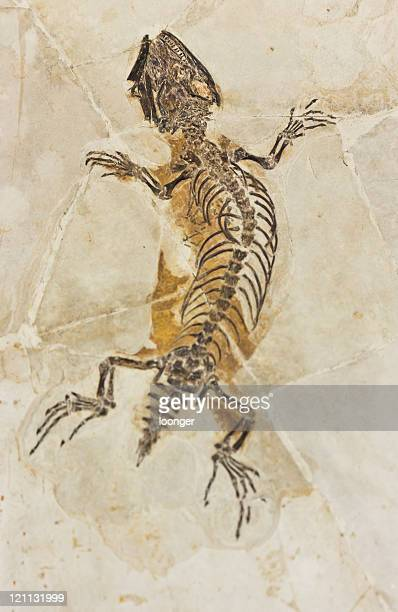 lizard fossil - fossil stock pictures, royalty-free photos & images
