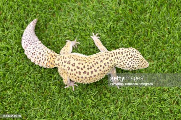 Lizard from above
