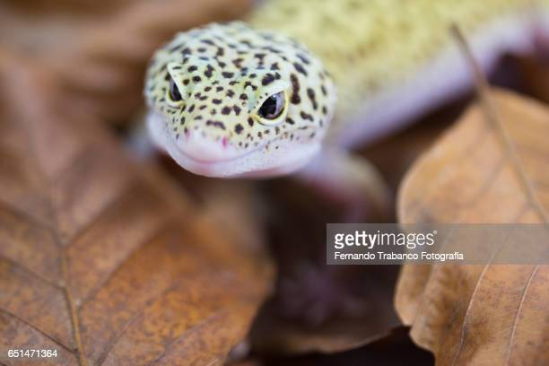 lizard hunt insects in the forest hiding on dry leaves - warts stock photos and pictures