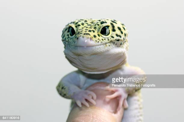 lizard in a human hand
