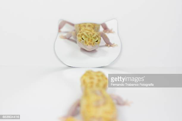 lizard in front of mirror showing his reflection - ugly cat stock photos and pictures