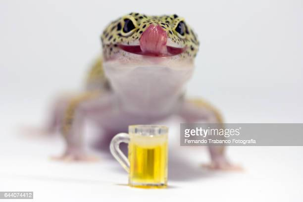 Lizard licks his tongue to lick the beer