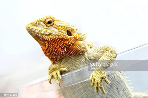 lizard looking out of the plastic box - schwanz stock-fotos und bilder