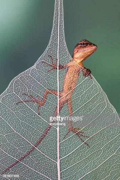 Lizard on a leaf