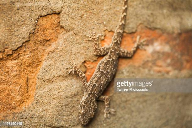 lizard on a wall - geco foto e immagini stock