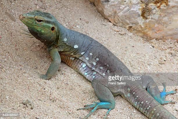 lizard (cnemidophorus murinus) on curacao - frans sellies stockfoto's en -beelden
