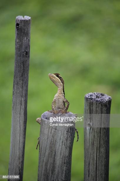lizard on fence post - anole lizard stock pictures, royalty-free photos & images