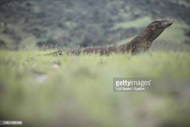 lizard on field - herbivorous stock pictures, royalty-free photos & images