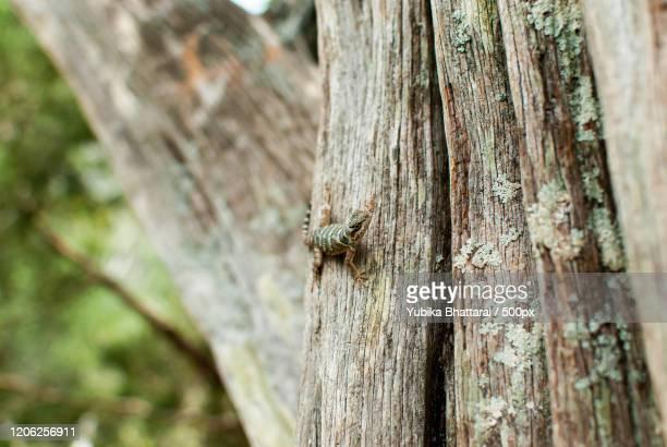 lizard on tree, san saba, texas, usa - san saba polo team stock pictures, royalty-free photos & images