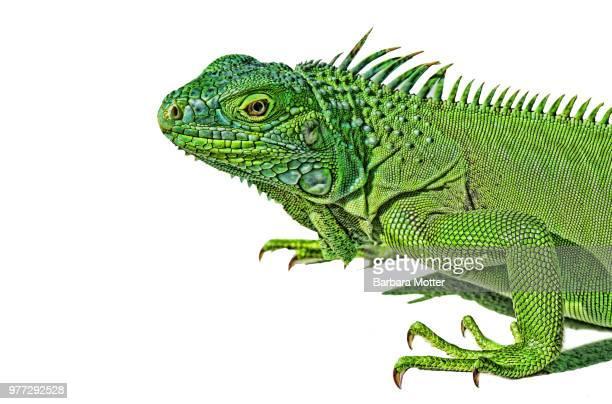 lizard on white background - green iguana ストックフォトと画像
