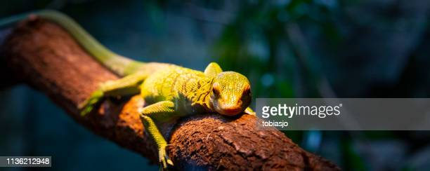 lizard - reptile stock pictures, royalty-free photos & images