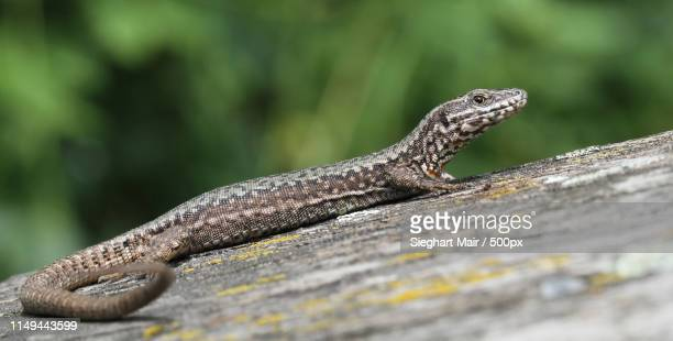 lizard - squamata stock photos and pictures