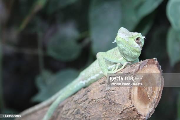lizard - mannheim stock-fotos und bilder