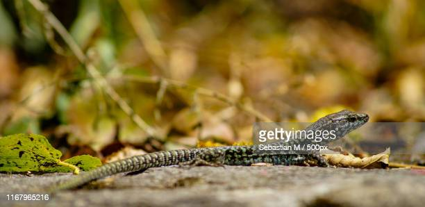 lizard - nautre stock pictures, royalty-free photos & images
