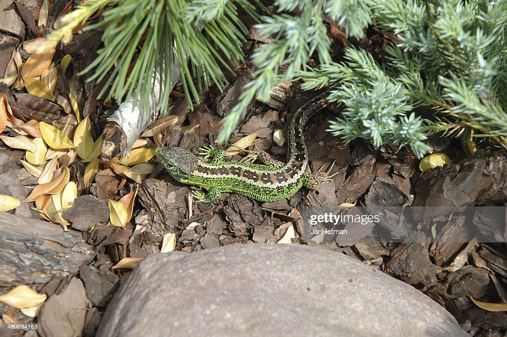 Lizard : Stock Photo