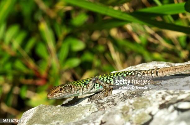 lizard - benedetto photos et images de collection