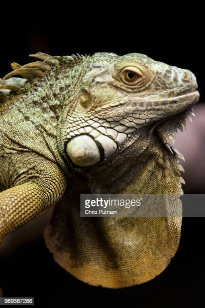 lizard - chris putnam stock pictures, royalty-free photos & images