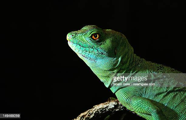lizard profile - noam galai stock pictures, royalty-free photos & images
