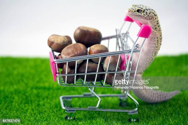 Lizard pushes shopping cart chestnuts