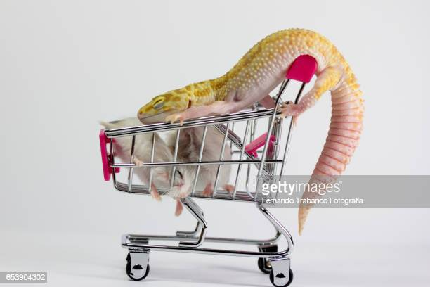 Lizard pushes shopping cart with two small rats
