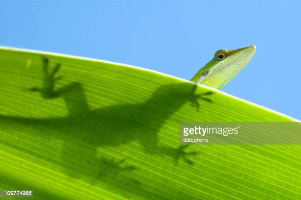lizard silhouette against sky - anole lizard stock pictures, royalty-free photos & images