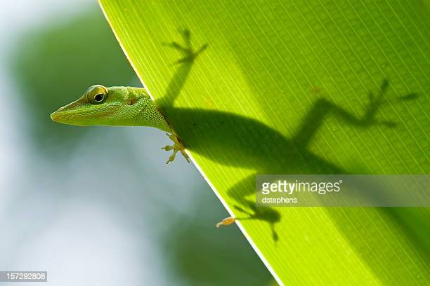 lizard silhouette through leaf - anole lizard stock pictures, royalty-free photos & images