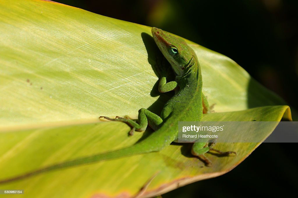 A Lizard sits on a leaf during the first round of THE PLAYERS Championship at the Stadium course at TPC Sawgrass on May 12, 2016 in Ponte Vedra Beach, Florida.