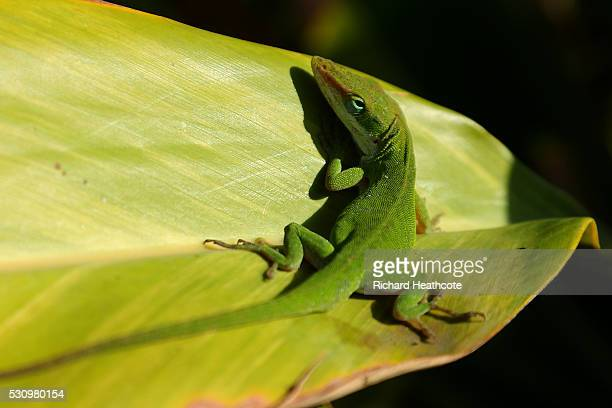 Lizard sits on a leaf during the first round of THE PLAYERS Championship at the Stadium course at TPC Sawgrass on May 12 2016 in Ponte Vedra Beach...