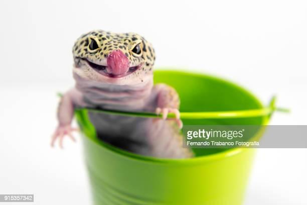 Lizard sticks out his tongue inside a metal bucket