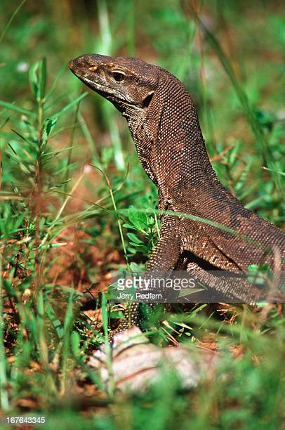 A lizard strolls through Mihintale National Park