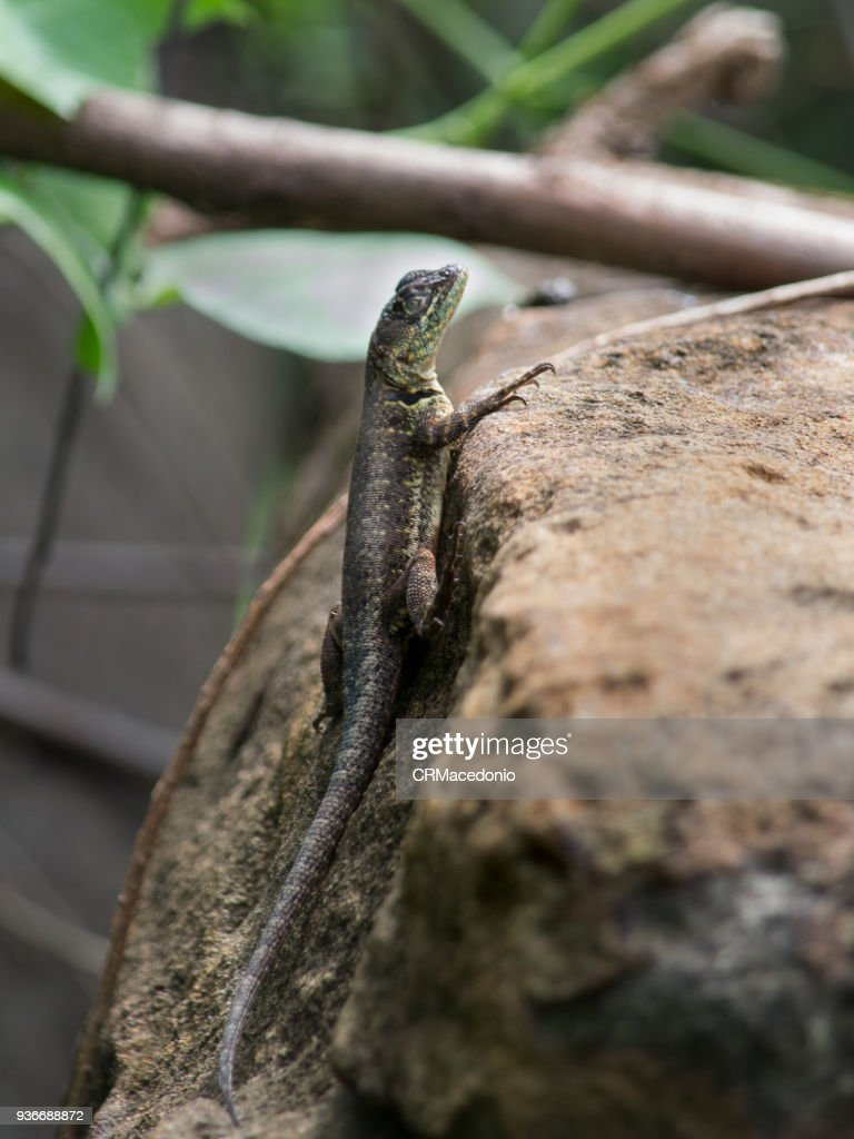 A lizard ventures home looking for food. : Stock Photo