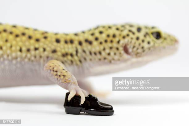 Lizard walks with shoes on his feet