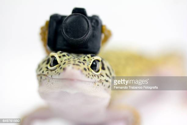 Lizard with a chamber on his head