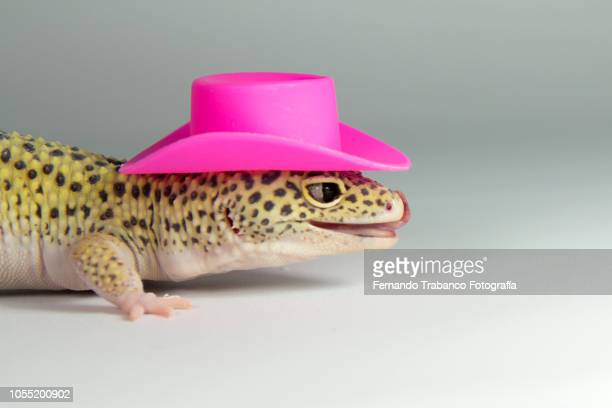 lizard with a elegant pink hat - cowboy hat stock pictures, royalty-free photos & images