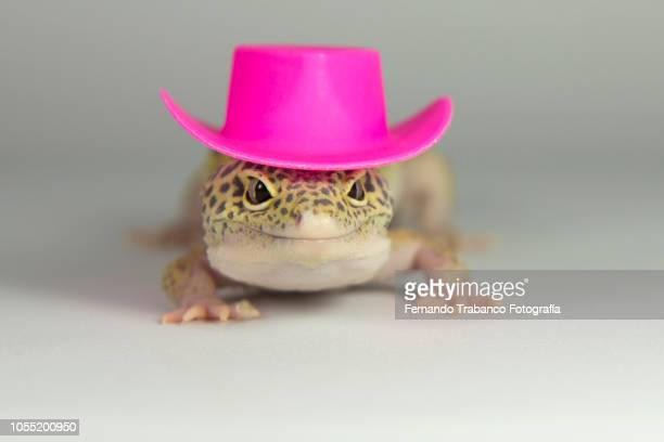 lizard with a elegant pink hat - geco foto e immagini stock