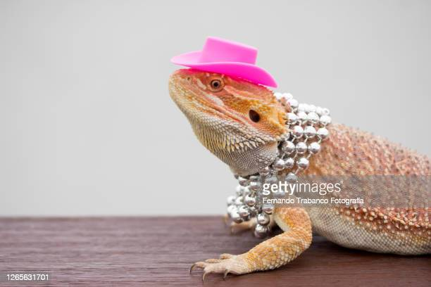 lizard with hat and necklace - bearded dragon stock pictures, royalty-free photos & images