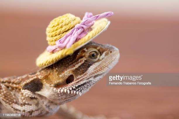 lizard with hat - bearded dragon stock pictures, royalty-free photos & images